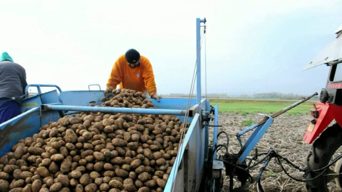 Potato prices soar in Eastern Europe