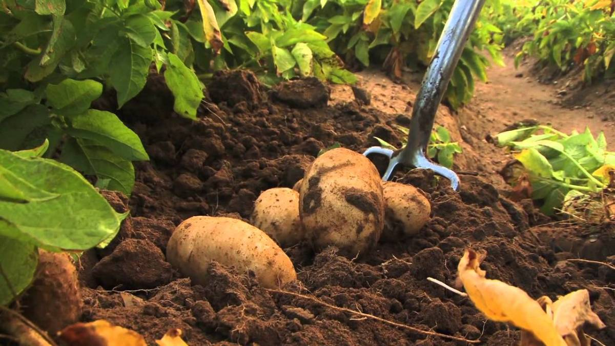 Growing early potatoes for McCain Foods in the UK - a short video
