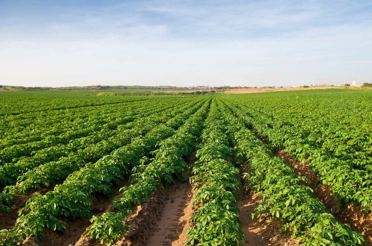 West Australian potato crops left to rot amid flooded market and low prices