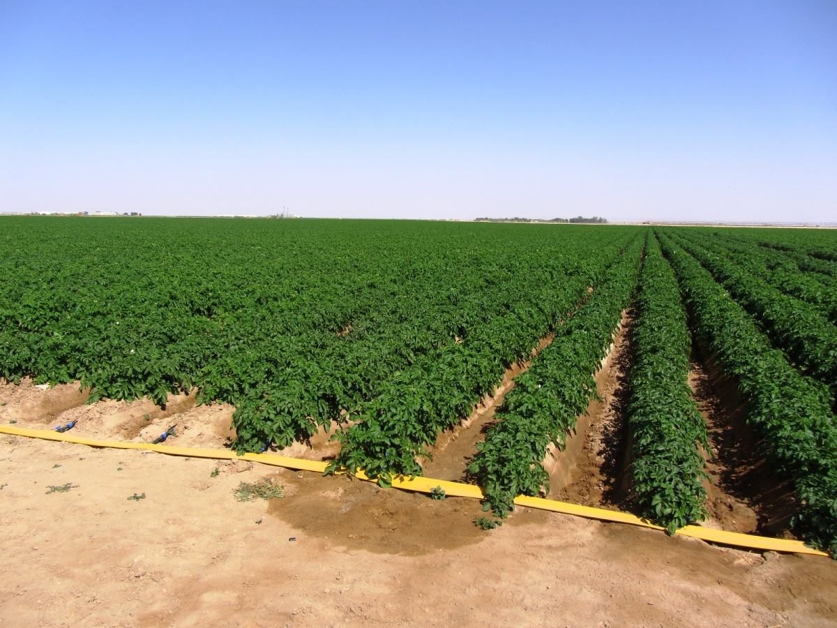 British potato farmers trialing drip irrigation to ward off drought threat to summer crop