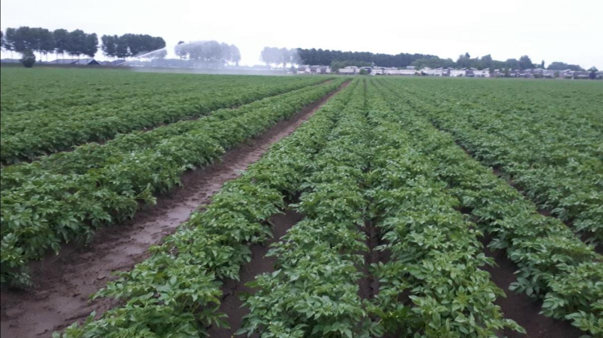 'The effects of last year's dry weather still being felt,' says Dutch potato trader